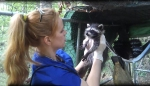 Victoria with raccoon