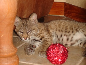 bobcat with ball