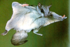 From: http://newsforsquirrels.blogspot.com/2013/05/why-did-flying-squirrel-cross-road.html