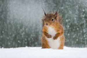 From: http://ntnaturephotos.wordpress.com/2011/04/11/red-squirrel-in-the-snow-print/