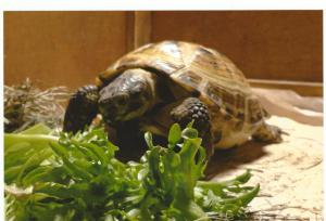 sheldon the russian tortoise