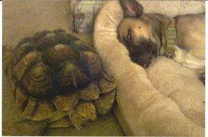 sushi the six year old sulcata tortoise with jake the dog