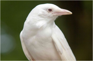 Einstein is our albino crow and education animal.  Albinism can actually be found in most species. Come meet Einstein at the Book Fair!