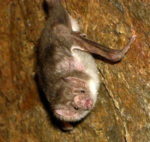 Desmodus rotundus, Picture taken at Sangayan Island, Paracas National Reserve, Departamento Ica, Peru, in March 2005.