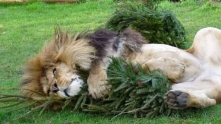 _65089087_africanlionzuriplayingwithhischristmastrees(2)