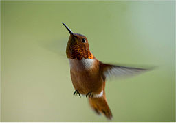 Male_Rufous_Hummingbird_(7172188464)