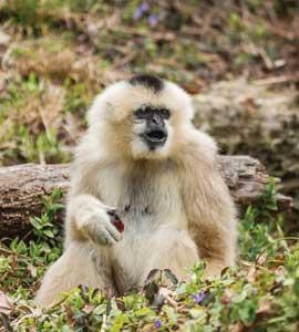 EN-gibbon