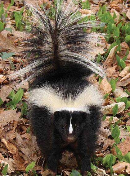 10-striped-skunk