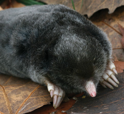 12-hairy-tailed-mole