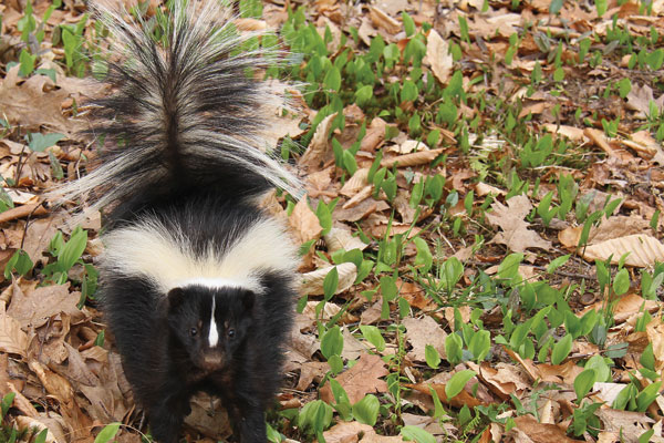 striped-skunk