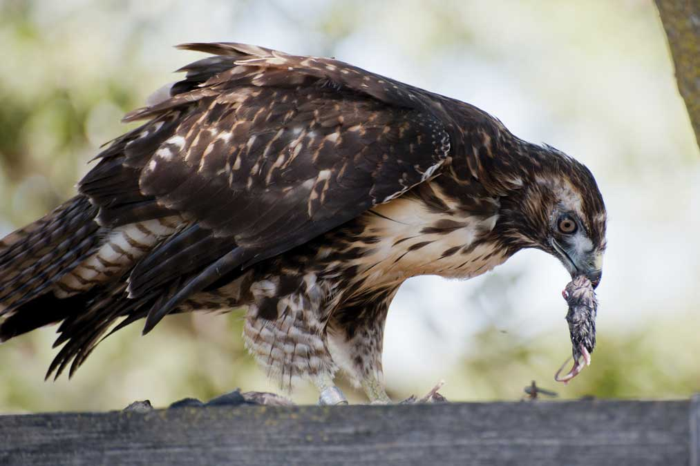 Image from Animal Helpers: Raptor Centers by Jennifer Keats Curtis